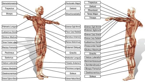 anatomie spieren - fotolia