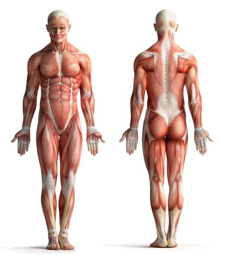 anatomie der spieren